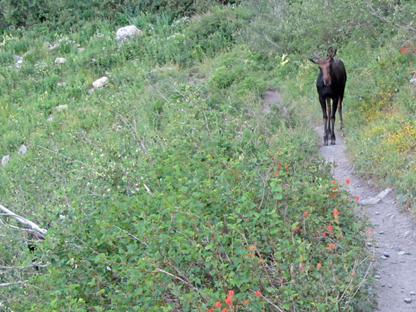 Moose Encounter on Timpooneke Trail